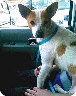 Jack Russell Terrier/Basenji Mix Dog for Sale in Porter, Texas - Pippa