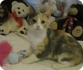 Calico Kitten for Sale in Poway, California - Rainbow Sherbet
