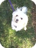 Maltese Mix Dog for Sale in Pineville, North Carolina - Petey