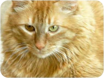 Domestic Longhair Cat for adoption in Fort Bragg, California - Harley