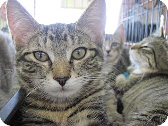 Domestic Shorthair Cat for Sale in Warren, Ohio - Daphne