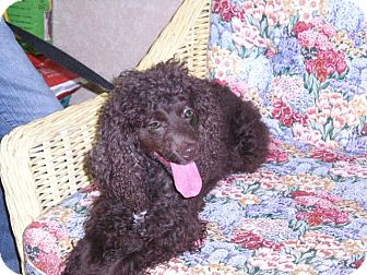 Cockapoo Mix Dog for Sale in New Castle, Pennsylvania -