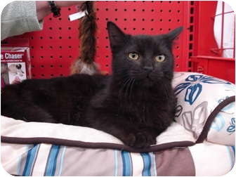Domestic Mediumhair Cat for Sale in Sterling Hgts, Michigan - Tom (super personality)