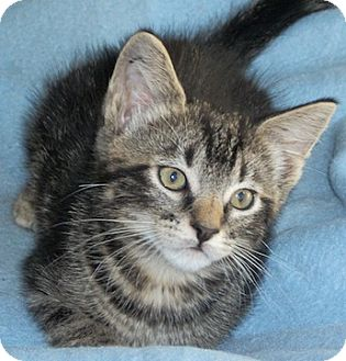 Domestic Shorthair Kitten for Sale in North Highlands, California - Flopsey
