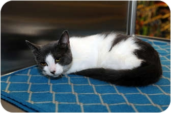 Domestic Shorthair Cat for adoption in Farmingdale, New York - Isosceles