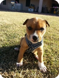 American Pit Bull Terrier/Boxer Mix Puppy for Sale in Phoenix, Arizona - Falloe - Only $95 adoption!