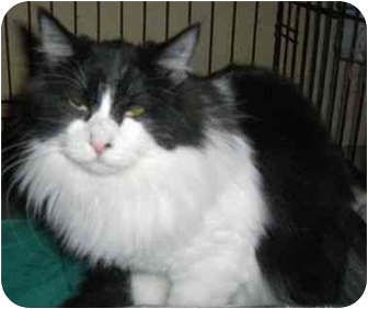 Domestic Longhair Cat for adoption in Strathmore, Alberta - Jimmy Page