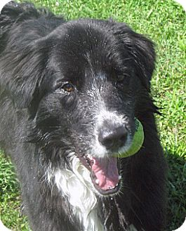 Looking for a Border Collie/Newfoundland dog in Hayden for Sale? Why