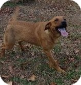 Labrador Retriever/Shepherd (Unknown Type) Mix Dog for Sale in Washington, D.C. - Etta James-I'm in New England!