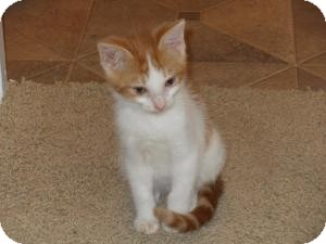 Domestic Shorthair Cat for adoption in Pflugerville, Texas - Pumpkin