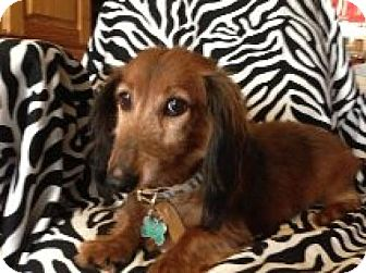 Dachshund Dog for adption in Atascadero, California - Siler
