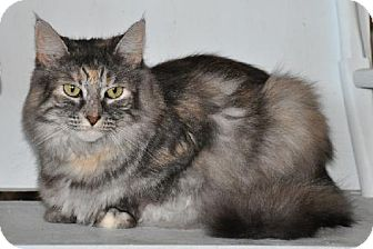 Domestic Longhair Cat for adoption in Wagoner, Oklahoma - Sunshine