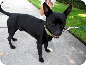 Chihuahua Mix Dog for Sale in Sacramento, California - Rico
