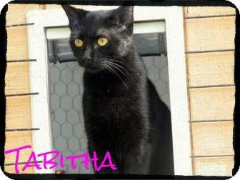 Bombay Kitten for adoption in anywhere, New Hampshire - Tabitha