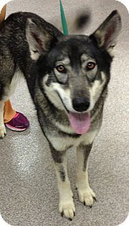 Husky/German Shepherd Dog Mix Dog for adption in Gainesville, Florida - Sheba