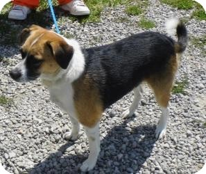 Beagle/Terrier (Unknown Type, Medium) Mix Dog for adption in Carey, Ohio - DELLA