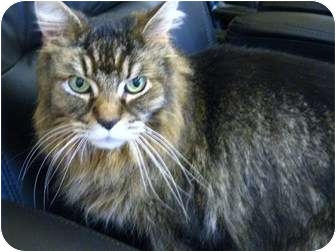 Domestic Longhair Cat for adoption in Richmond Hill, Ontario - Forrest