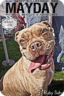 American Pit Bull Terrier Mix Dog for Sale in Phoenix, Arizona - Ruby Soho