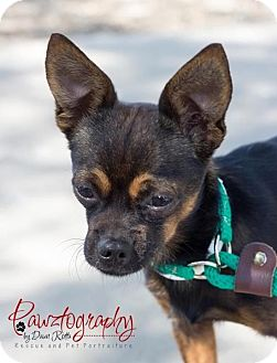 Chihuahua Mix Dog for Sale in Phoenix, Arizona - rocky