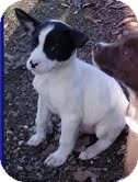 Feist/Terrier (Unknown Type, Medium) Mix Puppy for Sale in Allentown, Pennsylvania - Moon