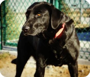 Labrador Retriever Mix Dog for Sale in Cheyenne, Wyoming - Daisey
