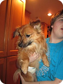 Pomeranian Mix Dog for Sale in Bellingham, Washington - Smoke