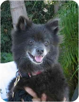 Pomeranian Dog for adption in Studio City, California - Coco Bean