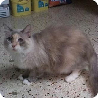 Siamese Cat for Sale in Lantana, Florida - Fluffels