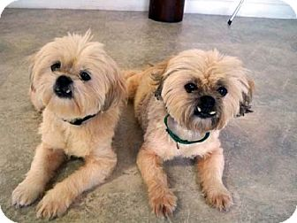 Shih Tzu/Lhasa Apso Mix Dog for Sale in Los Angeles, California - SASSIE & AURORA