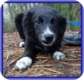 Australian Shepherd Dog for Sale in Allentown, Pennsylvania - Grady