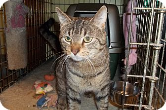 Domestic Shorthair Cat for Sale in Acme, Pennsylvania - Hopkins