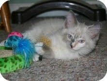 Birman Kitten for Sale in Arlington, Virginia - Phoebe