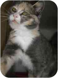 Calico Cat for adoption in Strathmore, Alberta - Naomi