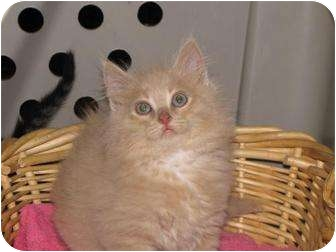 Domestic Mediumhair Kitten for adoption in Roseville, Minnesota - Buffy and Sissy