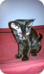 Domestic Shorthair Kitten for Sale in Gilbert, Arizona - Mia