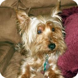 Yorkie, Yorkshire Terrier Dog for adption in The Villages, Florida - Whisky and Brandy
