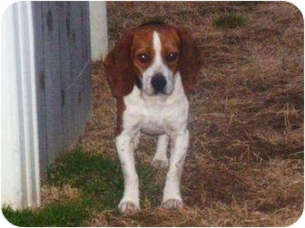 Beagle Mix Dog for Sale in Reynoldsburg, Ohio - Buddy