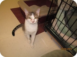 Domestic Shorthair Cat for Sale in Oceanside, New York - Pembro