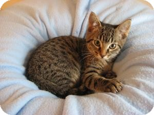 Domestic Shorthair Kitten for Sale in Eagan, Minnesota - Boston