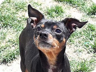 Miniature Pinscher Mix Dog for Sale in Meridian, Idaho - Faith