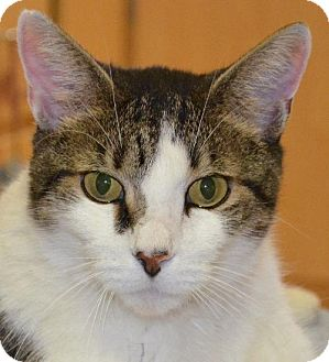 Domestic Shorthair Cat for adoption in Peoria, Arizona - Fred
