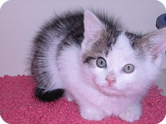 Domestic Mediumhair Kitten for Sale in New Castle, Pennsylvania - Benny