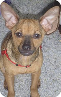 Chihuahua/Terrier (Unknown Type, Small) Mix Dog for adption in Seattle, Washington - Gumbo