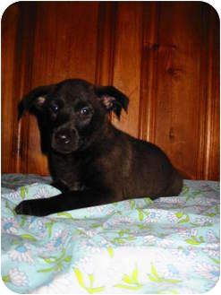 Border Collie/Terrier (Unknown Type, Medium) Mix Puppy for Sale in Ballwin, Missouri - Ziva