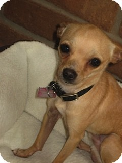 Chihuahua Dog for Sale in San Diego, California - Ace