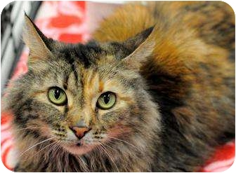 Maine Coon Cat for Sale in Harrisburg, North Carolina - Maggie Mae