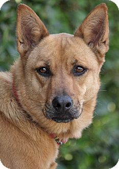 German Shepherd Dog Mix Dog for adption in Los Angeles, California - Callie von Bucknam