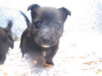 Terrier (Unknown Type, Small) Mix Puppy for Sale in Hamilton, Montana - Pup 3
