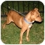 Photo 2 - Rhodesian Ridgeback/American Staffordshire Terrier Mix Dog for adoption in Van Nuys, California - Bloo