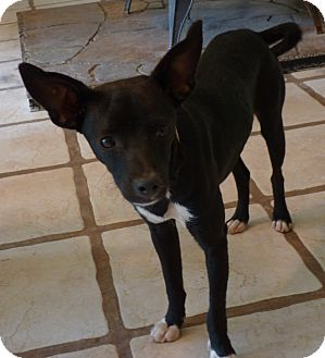 Glastonbury Ct Miniature Pinscher Meet Demi A Pet For Adoption
